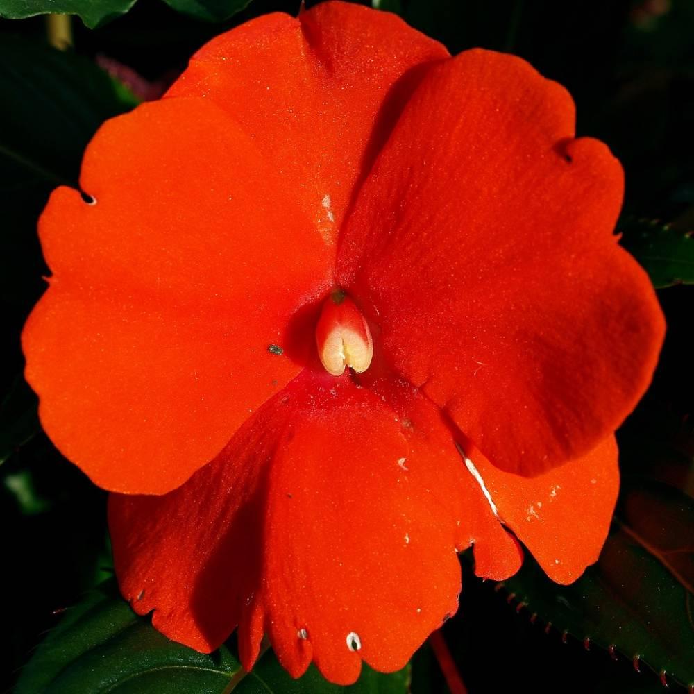 Кавказские ромашки цветы фото